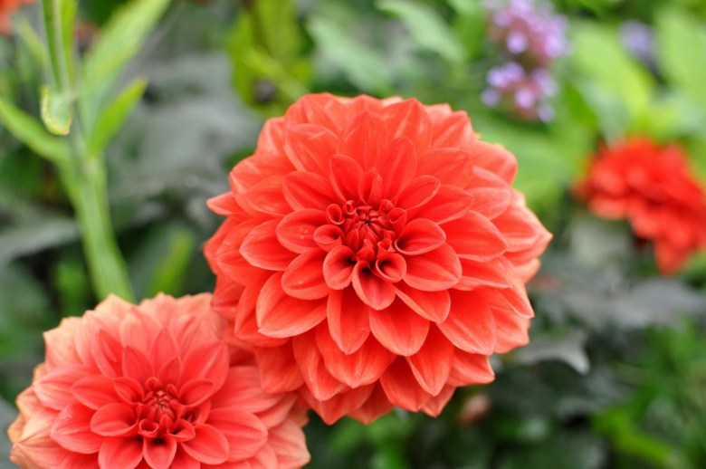 Dahlias rouges
