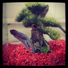 On a re-rempli l'aquarium avec un nouveau résident : un combattant bleu queue de voile.