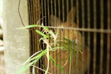 Lapin mangeant de l'herbe