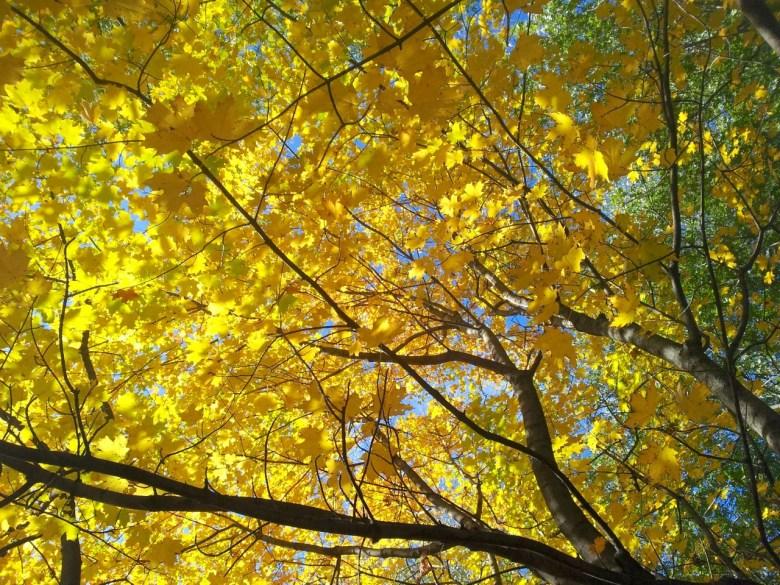Erable jaune à Montréal
