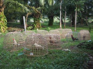 Elevage de coqs pour les combats