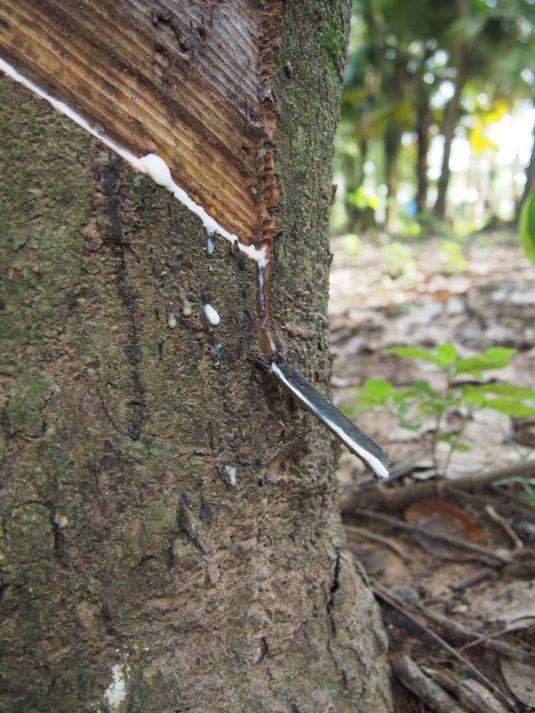 Caoutchouc sortant du tronc de l'hévéa