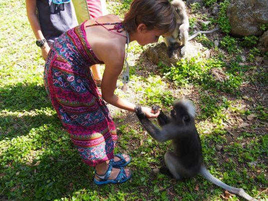 A la rencontre des langurs