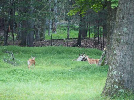 En fin de journée, les daims traversent le jardin