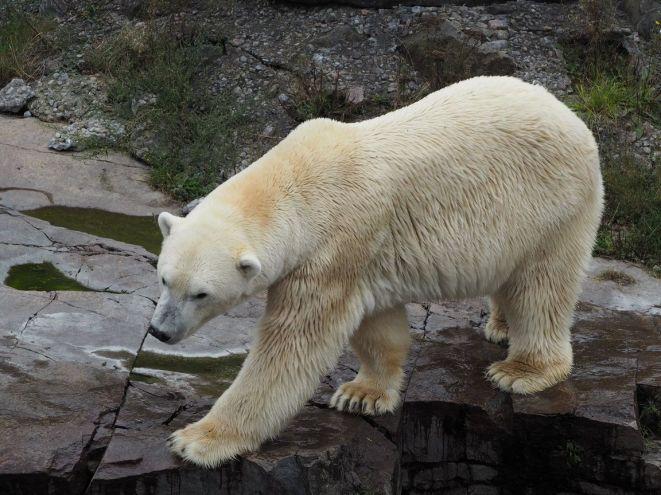 L'ours blanc dans son enclos...