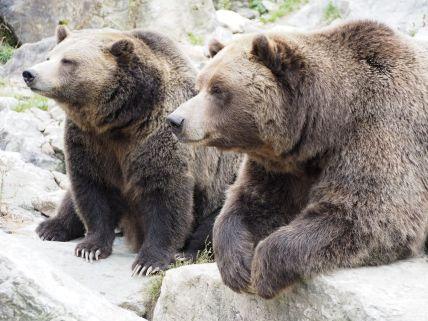 Grizzlis