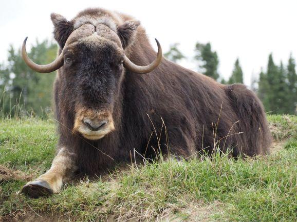 Paisible boeuf musqué au zoo sauvage de St Félicien