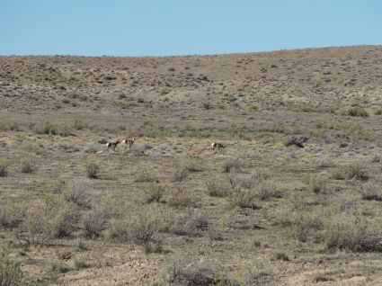 Nos 1eres antilopes (pronghorns)