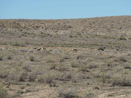 Nos 1eres antilopes (pronghorns)