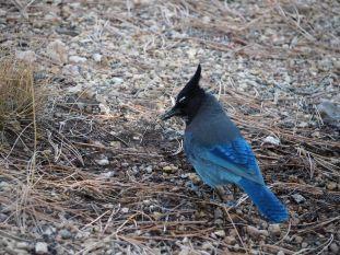 Nos voisins de camping: le Stellar Jay