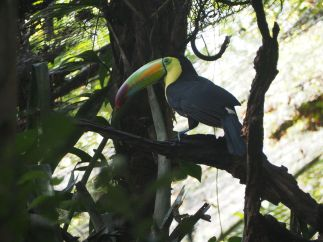 Toucan keel-billed