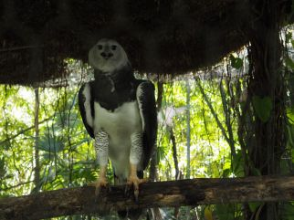 Aigle Harpy