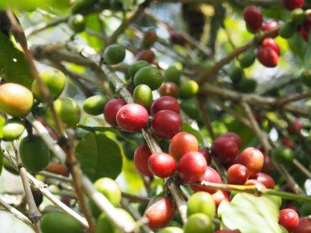 Seule la cerise de café rouge est à cueillir