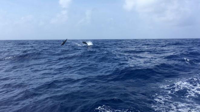 les dauphins nous accompagnent pendant la traversée