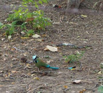le joli guardabarrenco: l'oiseau national du Nicaragua