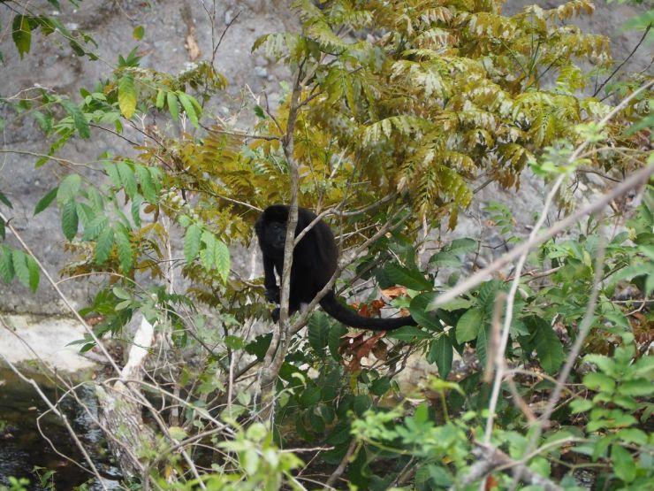 Les singes sont très présents au Costa Rica