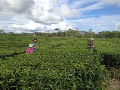 Cache-cache dans une plantation de thé