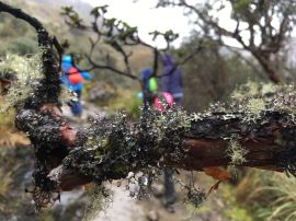 Arbol de papel couvert de lichen