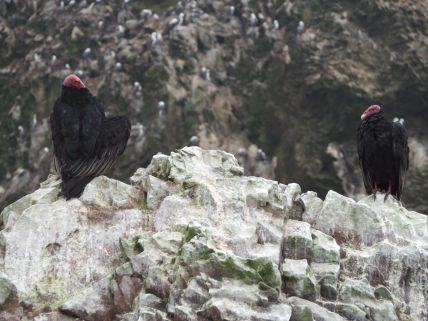 vautours à tête rouge