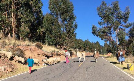 Promenade des lamas