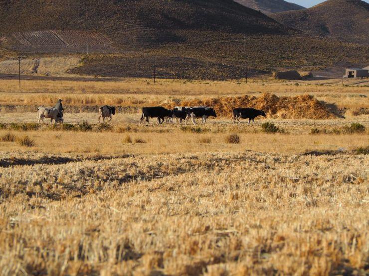 Les vaches sont rentrées chaque soir...