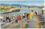 Culture et distillation de la lavande au XX ème siècle à Lesches-en-Diois