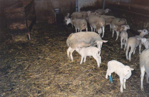 La brebis et l'agneau 1983