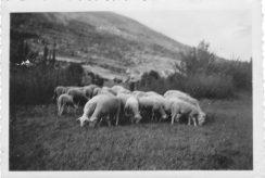 Le Puy et les moutons années 1940