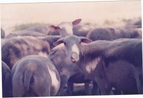 Troupeau de moutons 14.07.1986