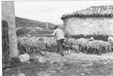 Troupeau de moutons 1955