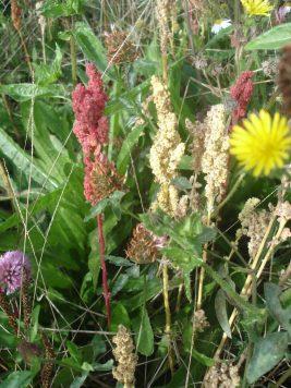 Variétés de Quinoa