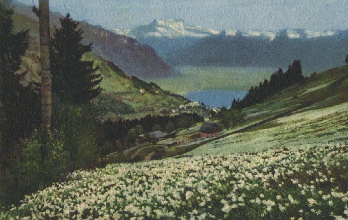 Carte postale, Les Narcisses sur Montreux, Lac Léman, Dents du Midi