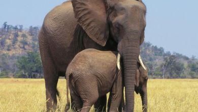 Photo de Parcs zoologiques. Vers la fin de la capture et la vente des éléphants d'Afrique