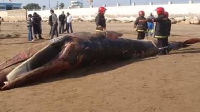 Photo de Une énorme baleine s'échoue sur la plage de Safi