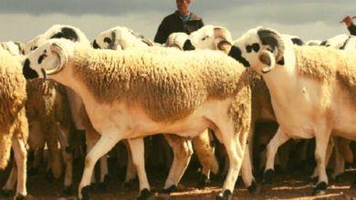 Photo de Conjoncture agricole: 55 MDH débloqués pour protéger le bétail