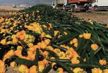 Photo de La tomate marocaine dérange toujours autant les Espagnols