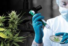Photo de Vers une légalisation du cannabis au Maroc