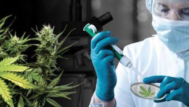 Photo de Conseil de gouvernement : la légalisation du cannabis médical encore au menu