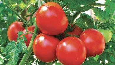 Photo de Espagne: Qui veut la «peau» de la tomate marocaine ?