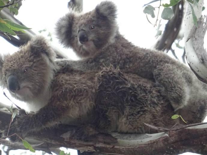 koalas0009