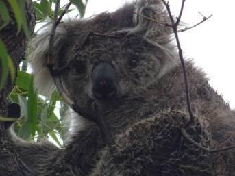 koalas0013