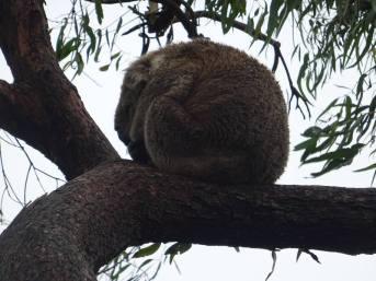 koalas0014