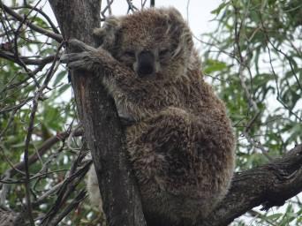 koalas0015
