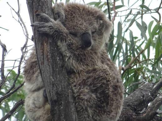 koalas0018