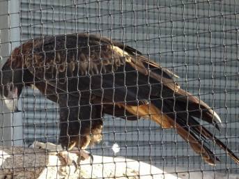Aigle sauvé d'un accident de la route