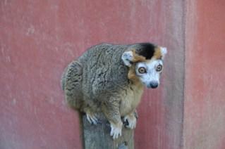 que-faire-dans-le-bearn-zoo-asson-lemurien