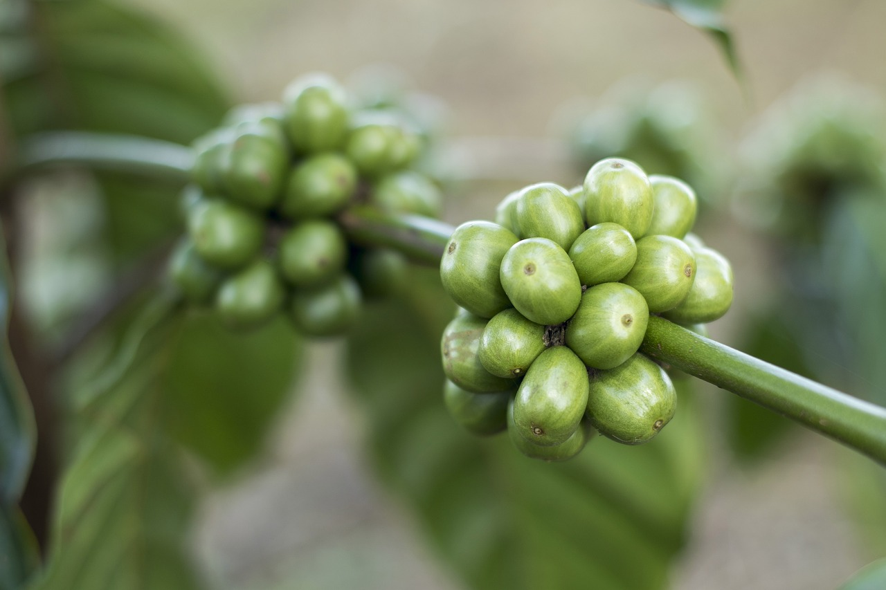 Grüner Kaffee – ein gesunder Jungbrunnen