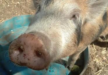 Qui pour adopter Marcus le cochon ?