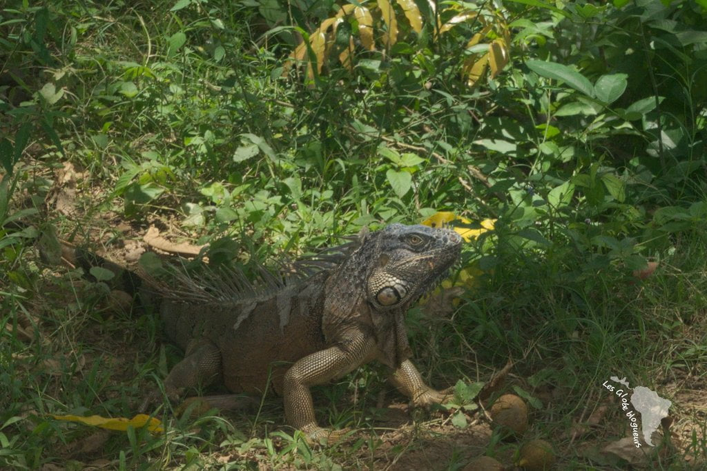 Iguane san ignacio belize