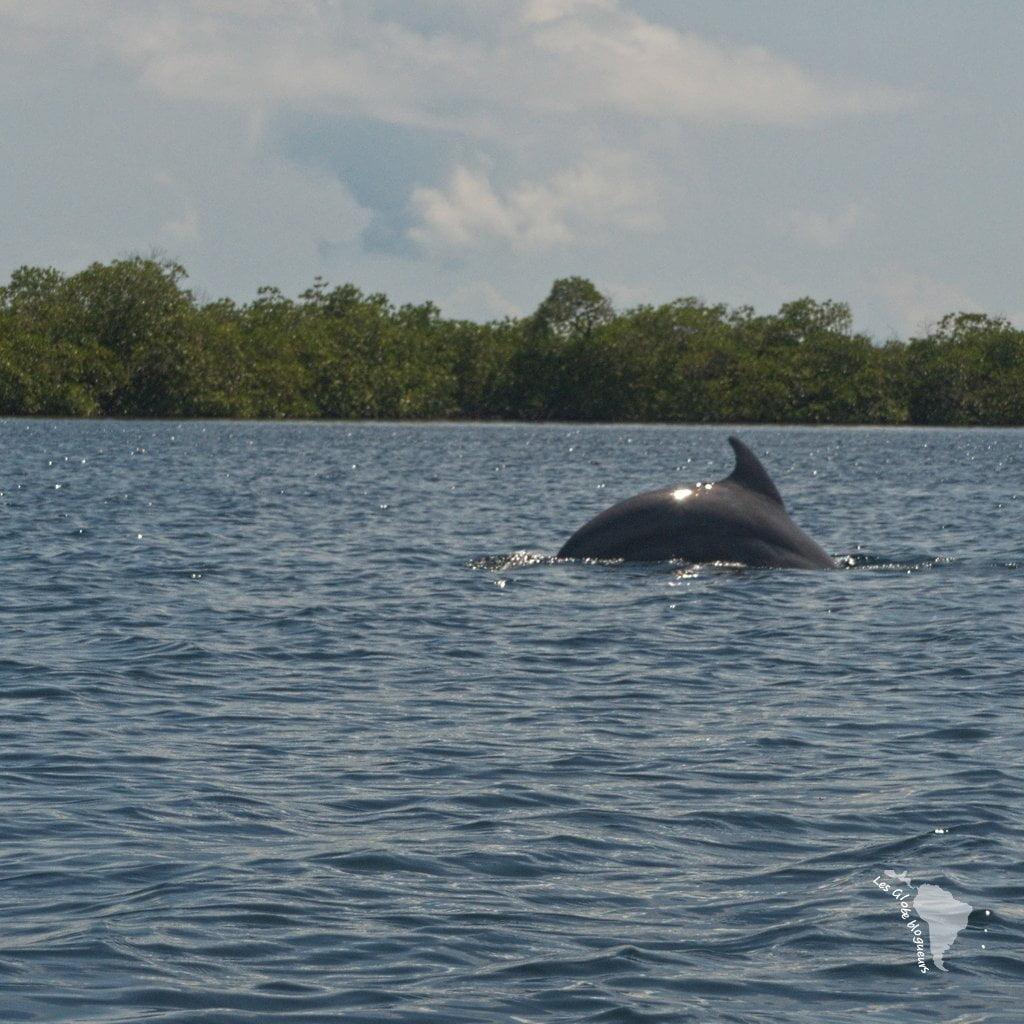 panama dauphins